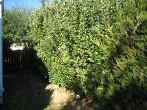 Apple Hedge