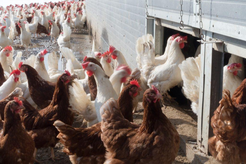 chicken-1230969_1280