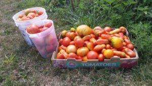 70lbs_tomatoes