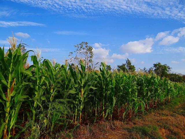 maize-272886_640