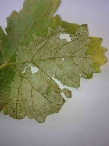 Skelitonized Leaf.1