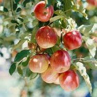 apple trees_opt
