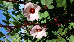 015-jim.dennis-Hibiscus Flowers