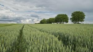 wheat-175960_1280