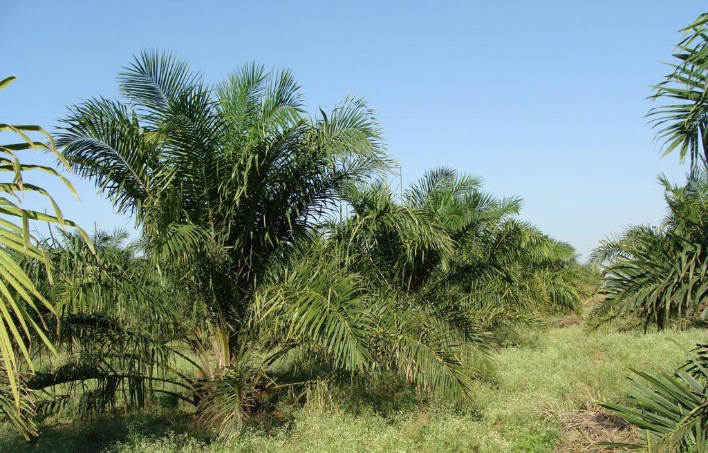oil-palm-287878_1280