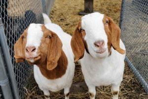 Fulcrum Goats